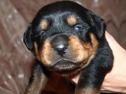 На фото щенкам 11 дней