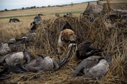 September Goose