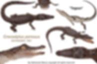 CR Crocodylus porosus togean indonesia 1