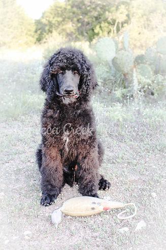 watermarked poodle pose george portrait