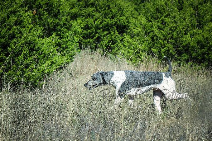 rebecca creek standard poodle