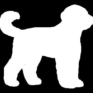 Duke is an F1 English Goldendoodle (Bearded Retriever)