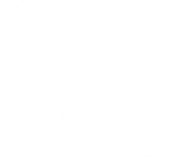 Chloe is an AKC Standard Poodle