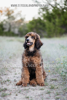 watermarked poodle pose roady 1.jpg