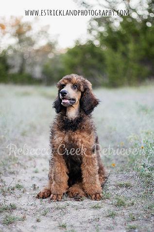 rebecca creek roady sable phantom standard poodle stud male