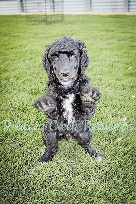 watermarked poodle pose remi otis 6 week