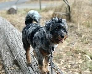 Deep Creek Aussiedoodles