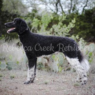 AKC Rebecca Creek's Count Quincey