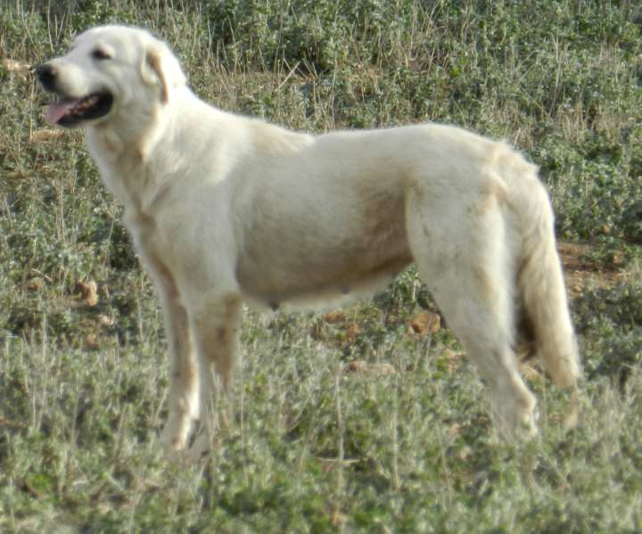 Great Pyrenees with a Summer Coat (photo belongs to Galloping Winds Ranch))