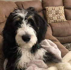Traditional Tricolor Bernedoodle