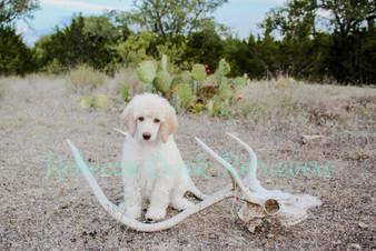AKC Standard Poodle Puppy