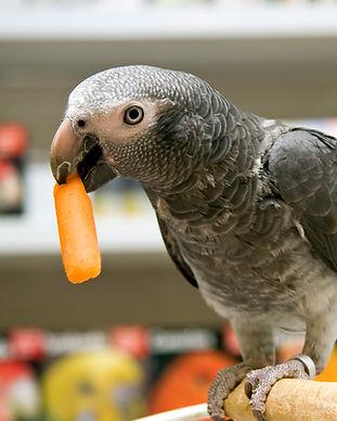 Parrot eten Wortel