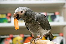Parrot eating Carrot
