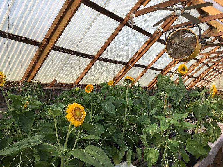 sunflowersgreenhouse.jpg