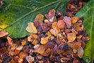 96179697-myrrh-commiphora-myrrha-fragran
