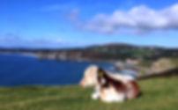 Cow at Pennard.jpg