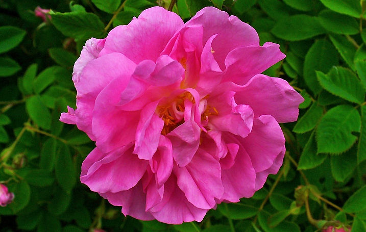 Rosa_damascena_002.jpg