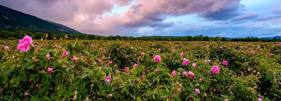 rose-field_1024x1024.jpg