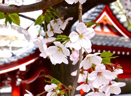 Cinco lugares para ver a floração das cerejeiras em Tóquio