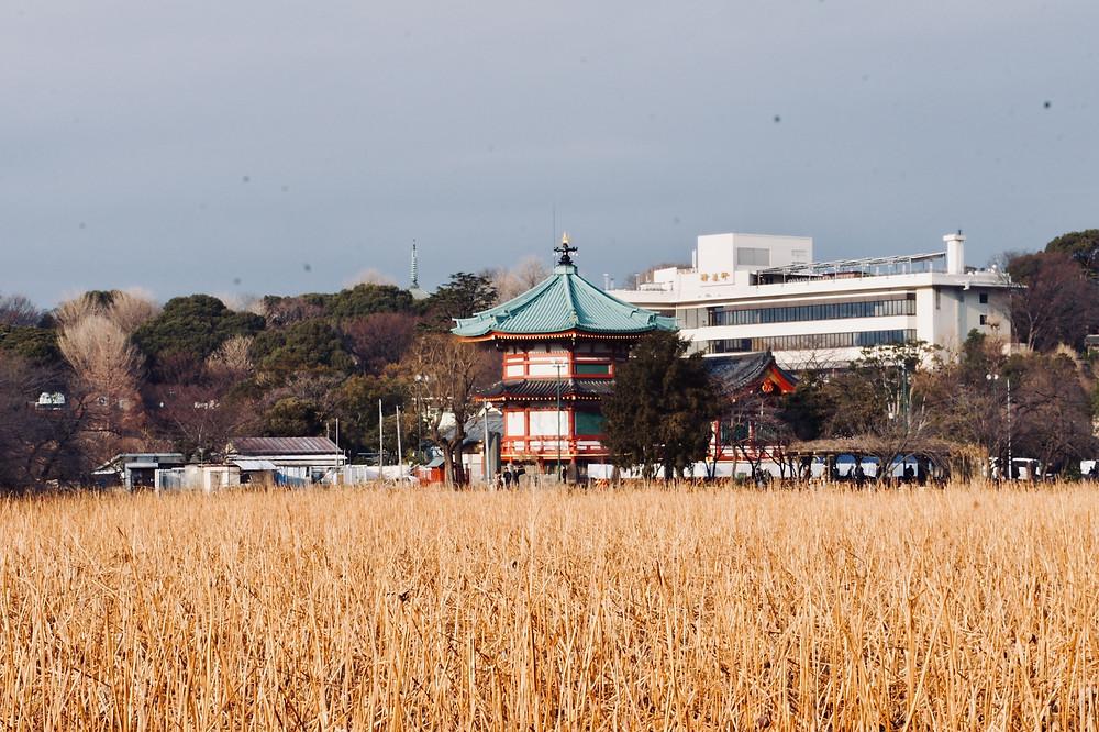 O Lago Shinobazu, coberto por plantas secas, fica no Parque de Ueno.