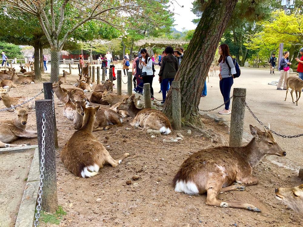 Cerca de 1200 veados vivem no Parque de Nara e seus arredores. foto: Roberto Maxwell