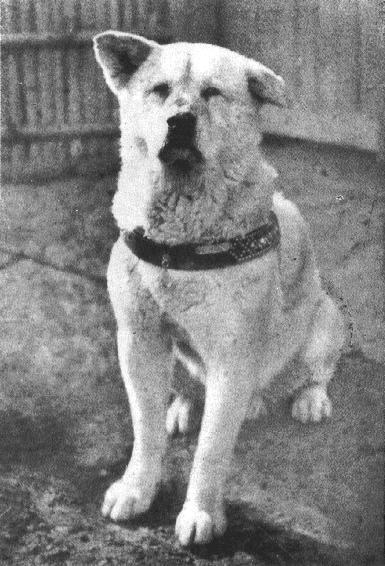 Hachi, em seus últimos anos de vida.