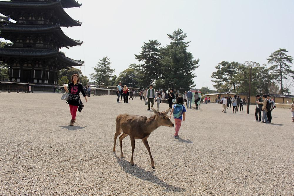 Os veados de Nara passeiam livremente entre os transeuntes. foto: Roberto Maxwell