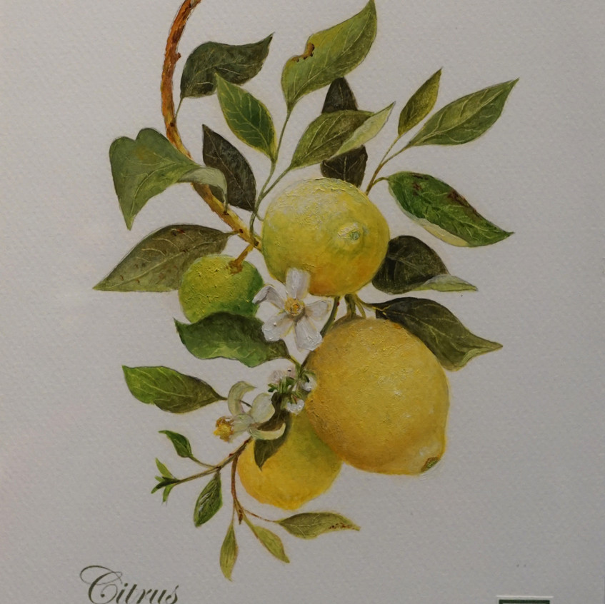 Botanical citrus c. limon by Wendy Rogers oil on acid free museum quality paper