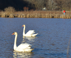 Pair of Swans at Lowber