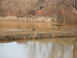 Geese at Wilson Run