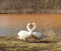 Swans at Lowber