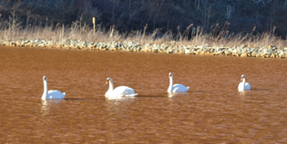 Parade of Swans at Lowber