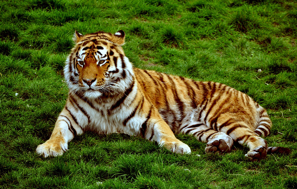siberian_tiger_at_colchester_zoo_uk-_5755163592wikimedia