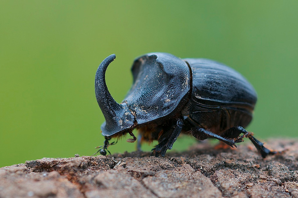horned dung beetle.jpg