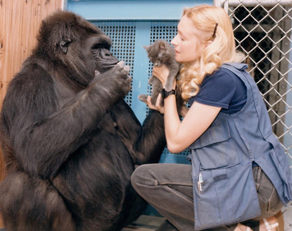 160728-koko-gorilla-doc-embed2