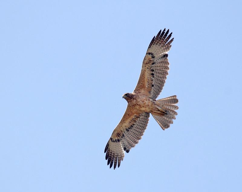 Juvenile_Bonelli's_eagle wikipedia.jpg