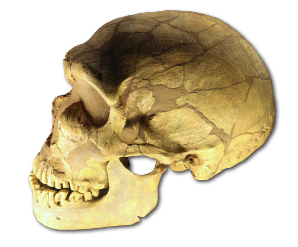 ferrassie_skullwikimedia