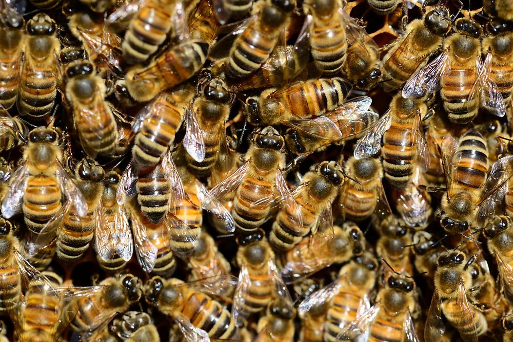 honey-bee-water-buckfast-59829.jpeg