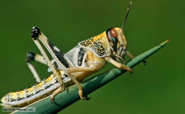 locust.jpg