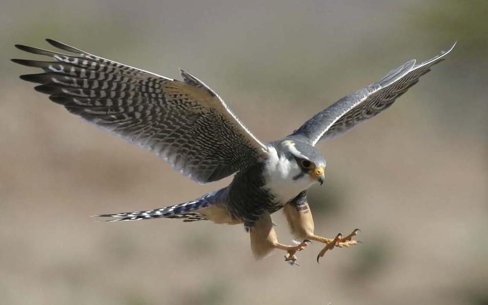 Peregrine falcon.JPG