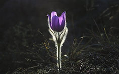 pasqueflower-1585303__340.jpg