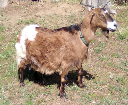 Cheyenne-LaMancha/Nubian Doe in Milk