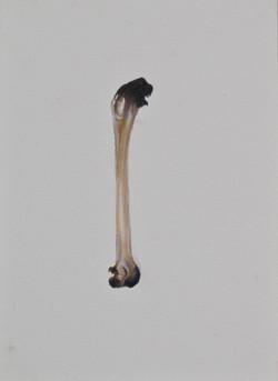 Cabinet_Nicole_Maatsuyker Island Shearwater Bone