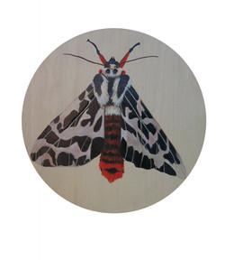 Black Witch Maatsuyker IslandTiger Moth