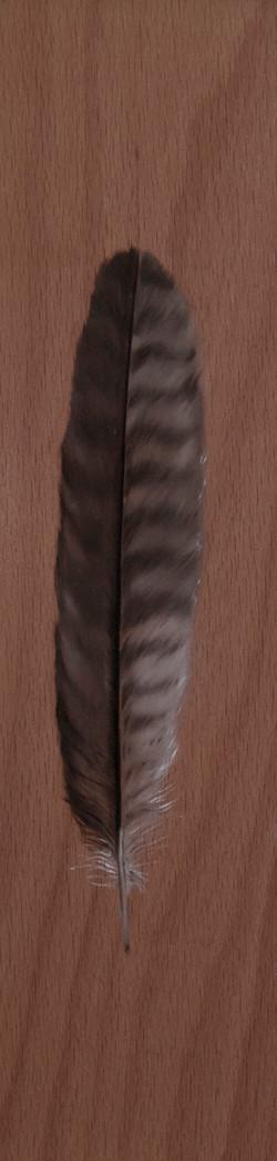 Cabinet_Nicole_Maatsuyker Island Peregrine Hawk Feather