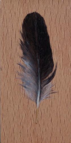 Cabinet_Nicole_Maatsuyker Island Shearwater feather