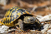 tortuga-mediterranea-tierra.jpg