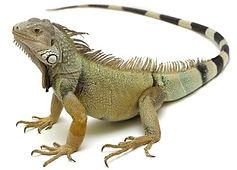 Iguanas.JPG