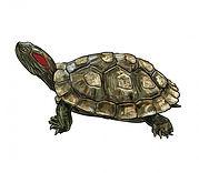 dibujo-tortuga-slider-orejas-rojas-trach
