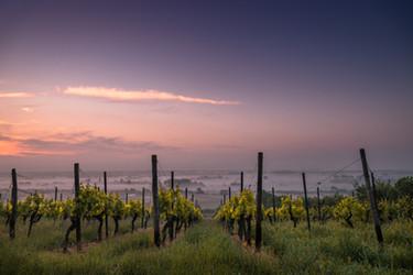vineyard 1.jpg